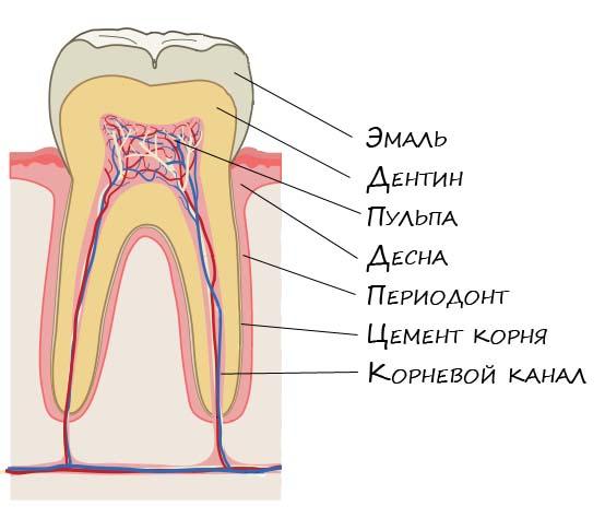 dentanatomy